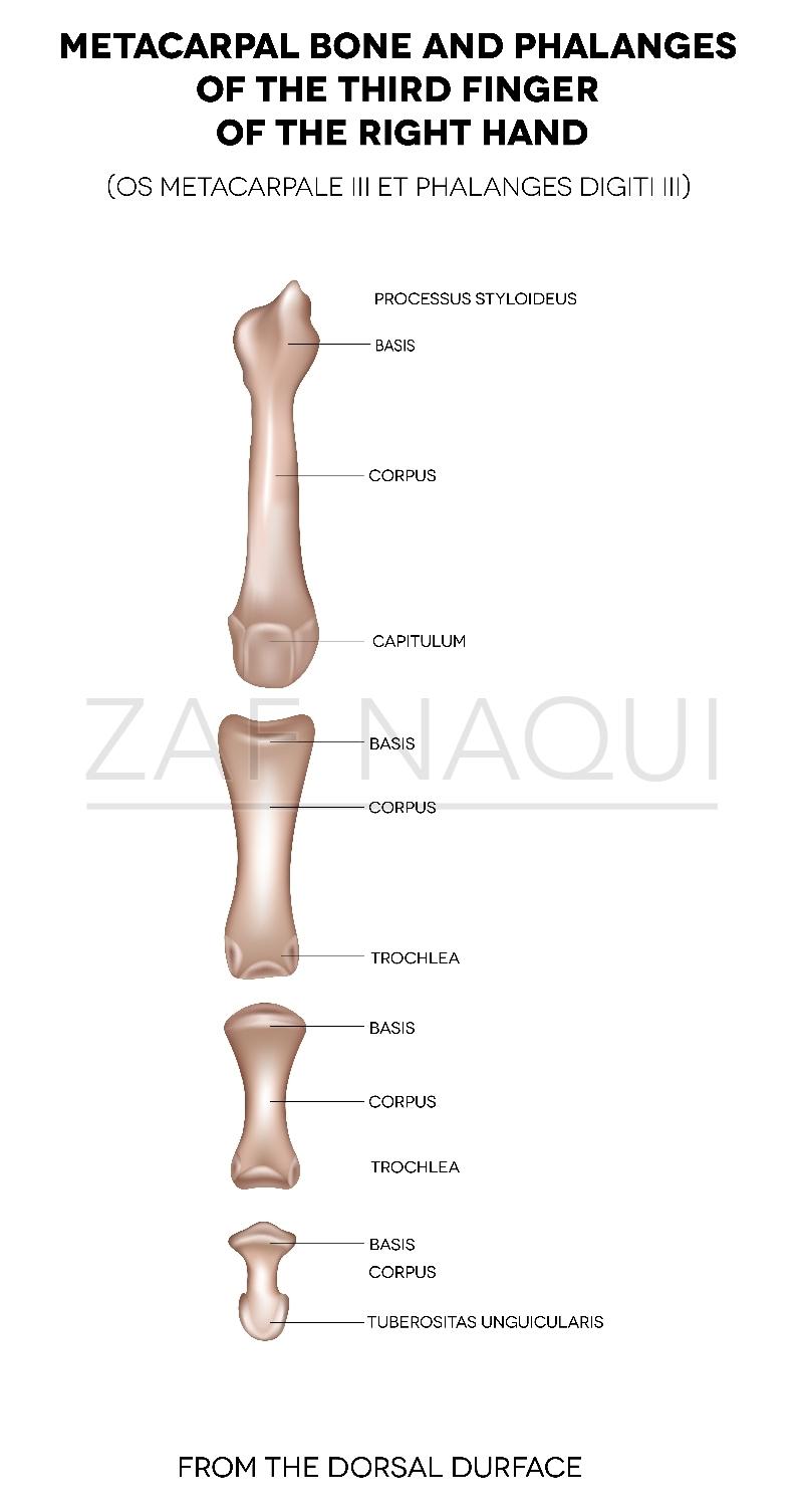 Zaf Naqui | Anatomy