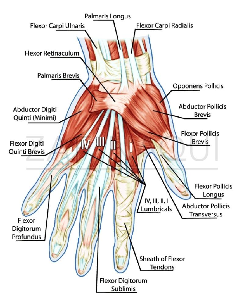 Atemberaubend Anatomie Der Hand Sehnen Fotos - Menschliche Anatomie ...