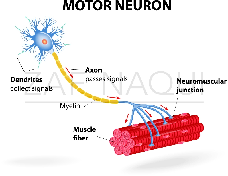 Motor Neuron And Label A Diagram | Motor Repalcement Parts And Diagram