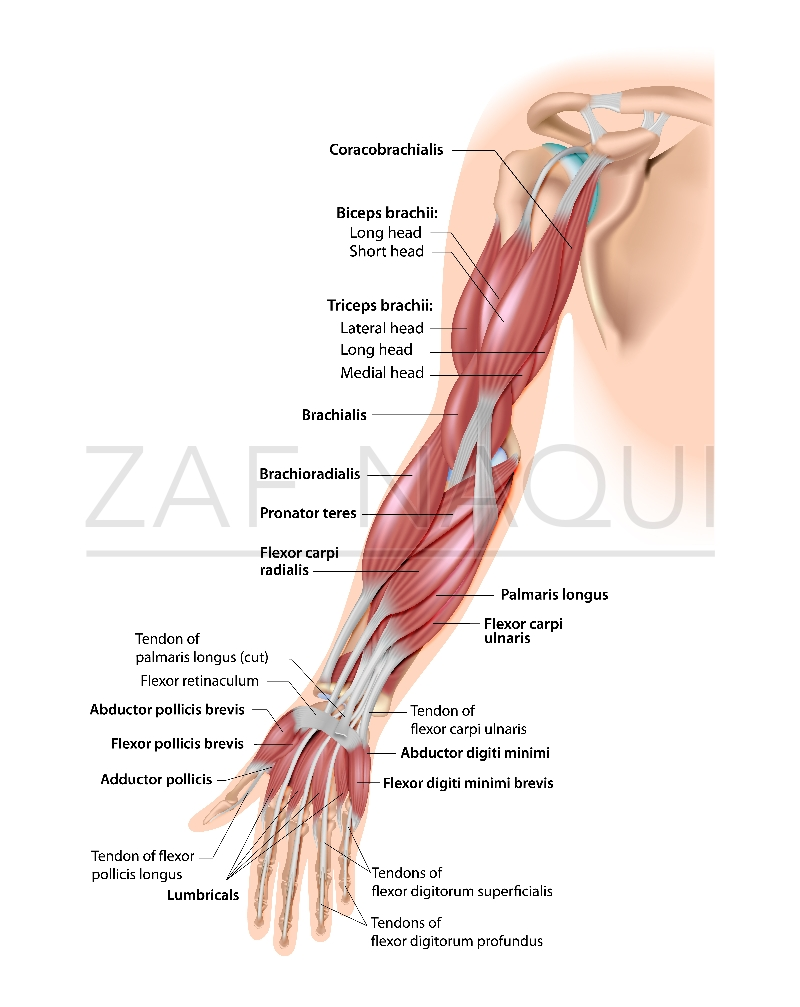 Upper limb muscles anterior